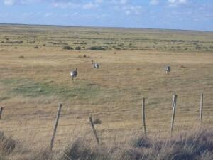 Chile_Punta Arenas_Straussenfarm