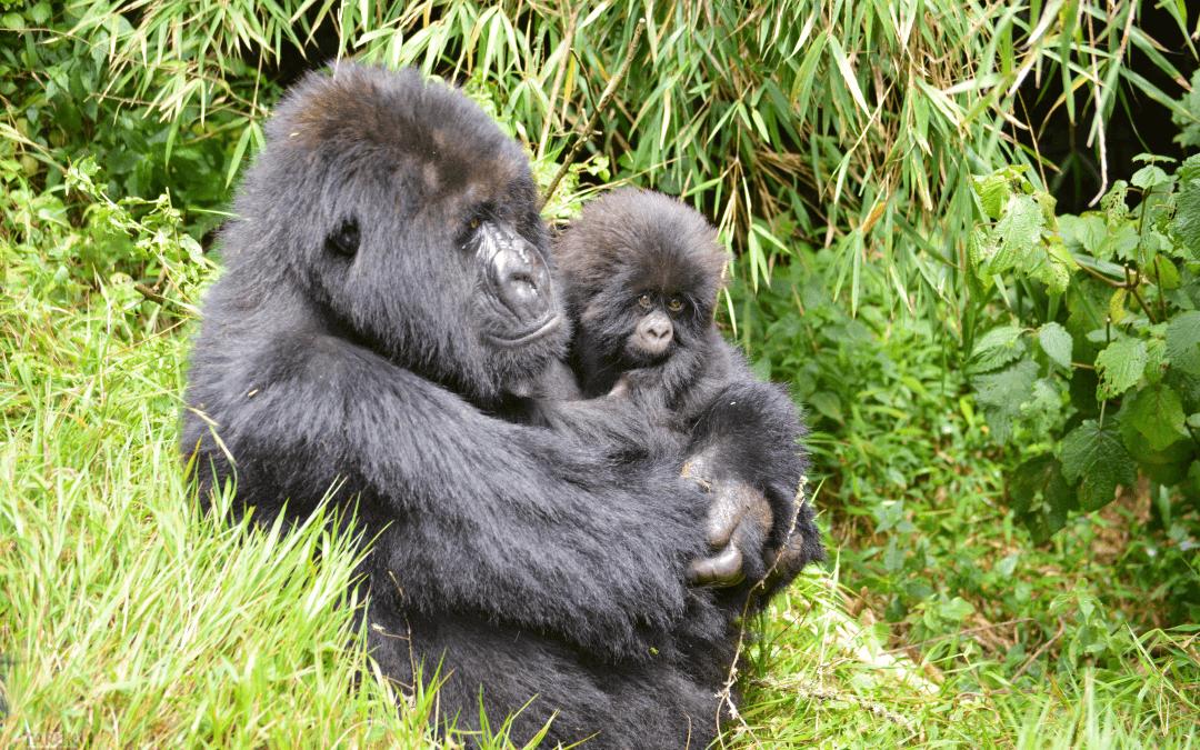 """Gorillas im Nebel"" – Rundreise Uganda & Ruanda"