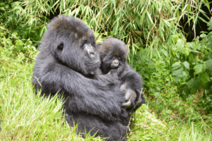 """Gorillas im Nebel"" - Rundreise Uganda & Ruanda"