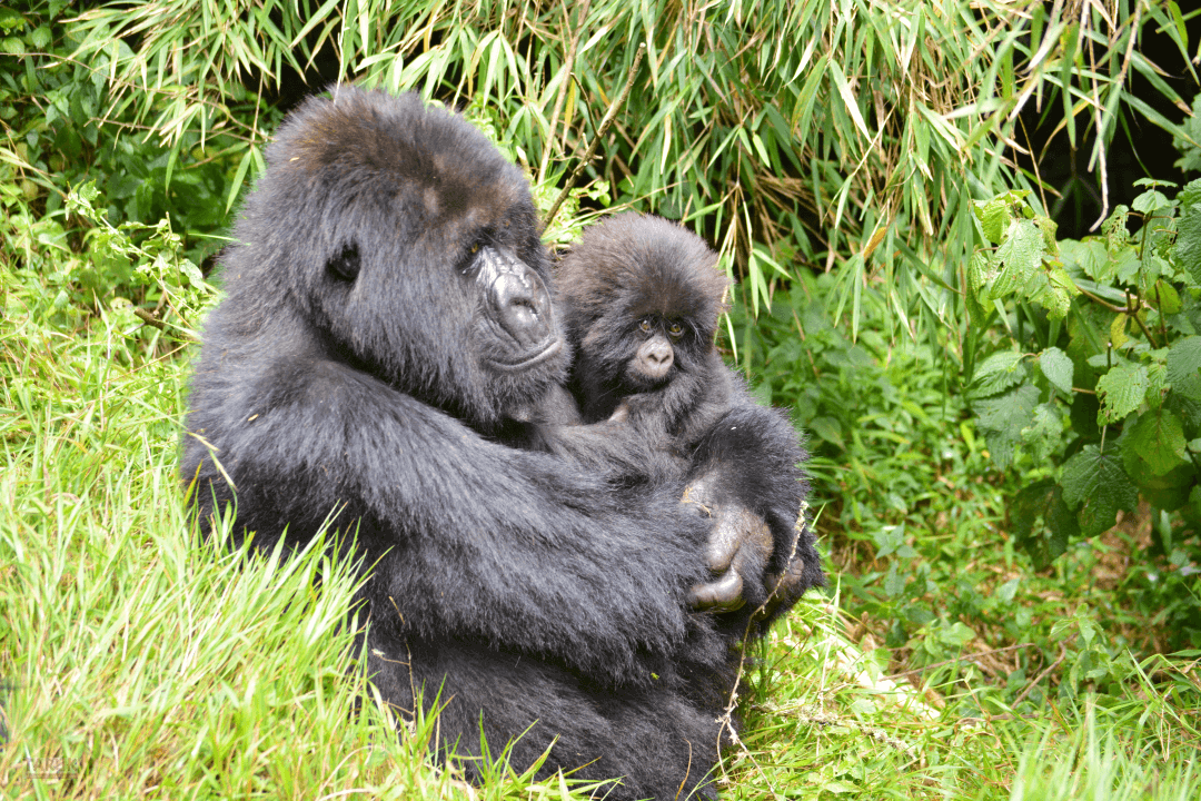 Gorilla-Tracking in Ruanda