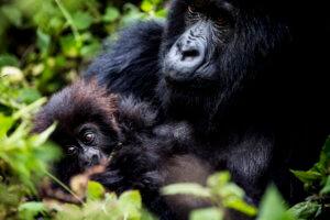 Berggorilla-Trekking in Ruanda: Auge in Auge mit den sanften Riesen