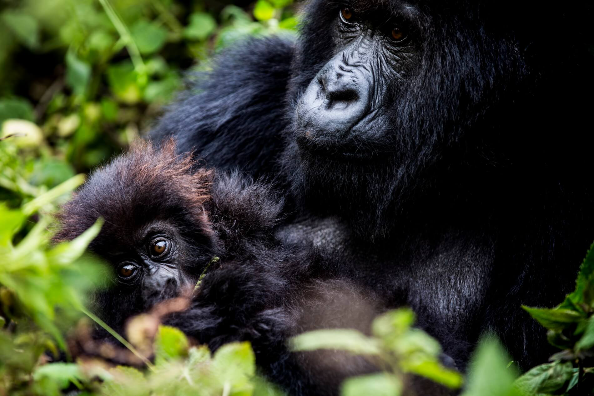 Gorilla Mutter und Kind beim Gorilla Trekking Bisate Wilderness Lodge in Ruanda