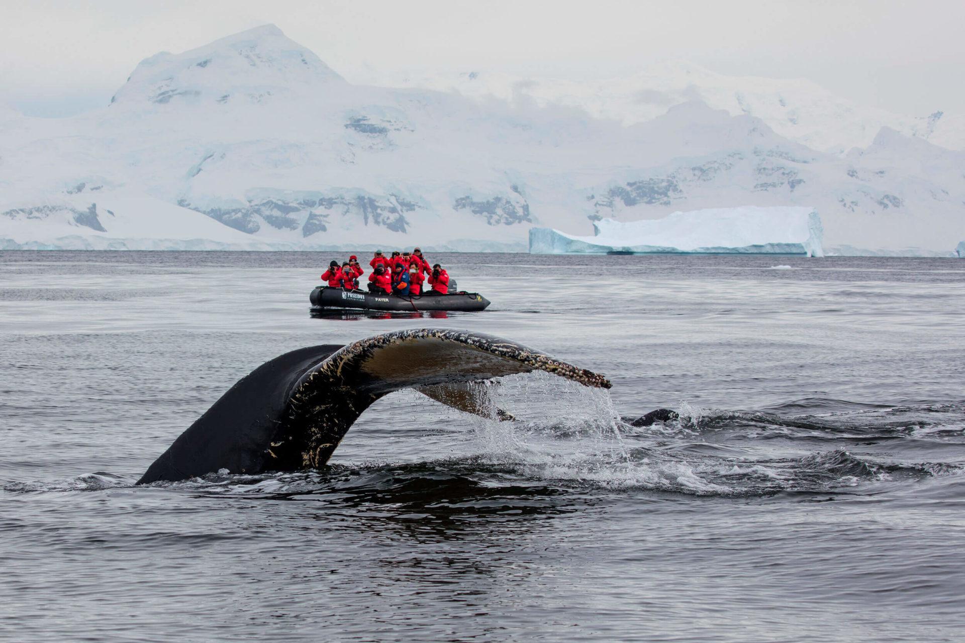 Walbeobachtung mit dem Zodiac in der Antarktis