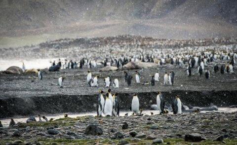 Falklandinseln und Südgeorgien Expedition mit der MS Magellan Explorer
