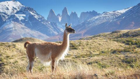 Patagonien mit Guanaco im Nationalpark Torres del Paine, Chile
