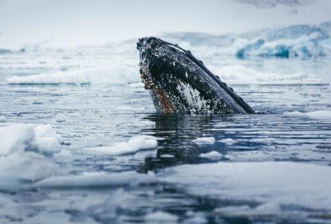 Buckelwal im Wasser in der Antarktis