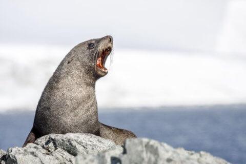 Seelöwe in der Antarktis