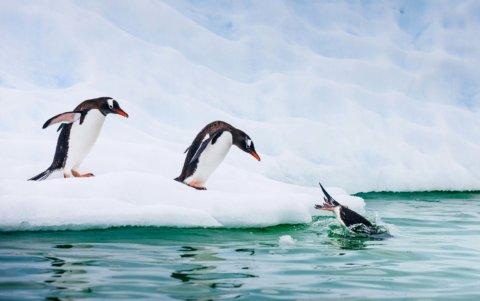 Pinguine springen ins kalte Wasser der Antarktis