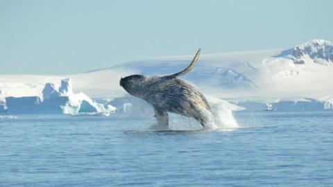 Buckelwale in der Antarktis