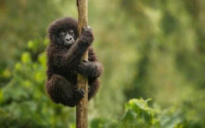 Baby-Boom bei den Berggorillas in Uganda