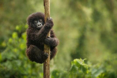 Berg-Gorilla-Baby Uganda