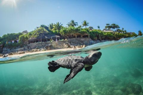 Schwimmende Schildkröte vor Tropikstrand