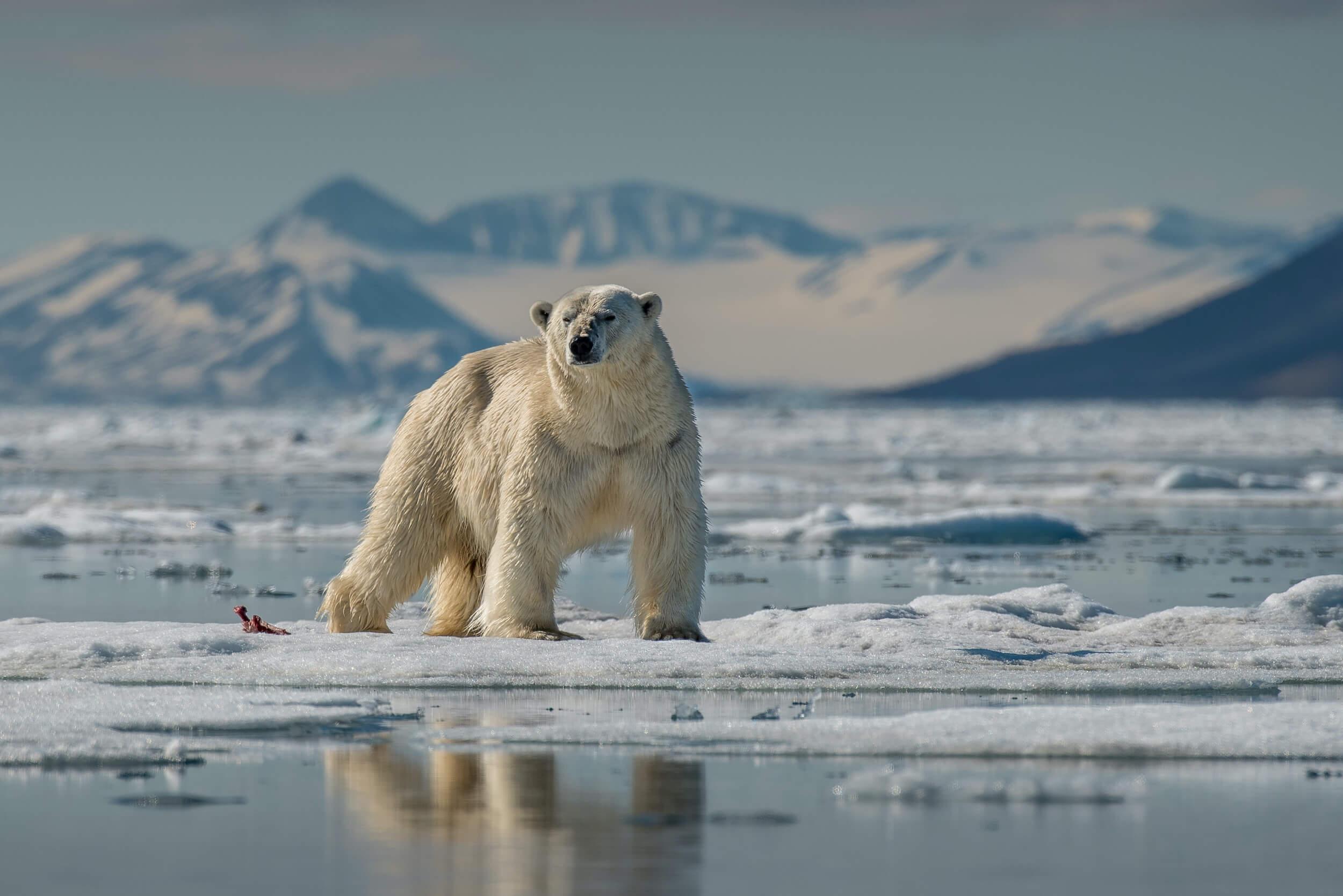 Eisbär im arktischen Eis