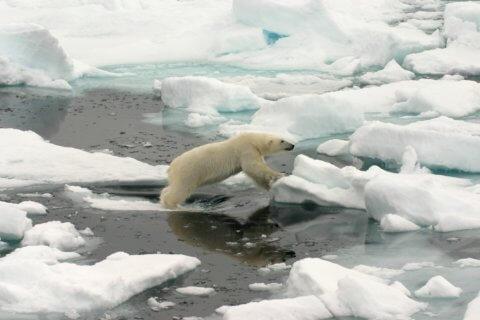 Eisbär: König der Arktis